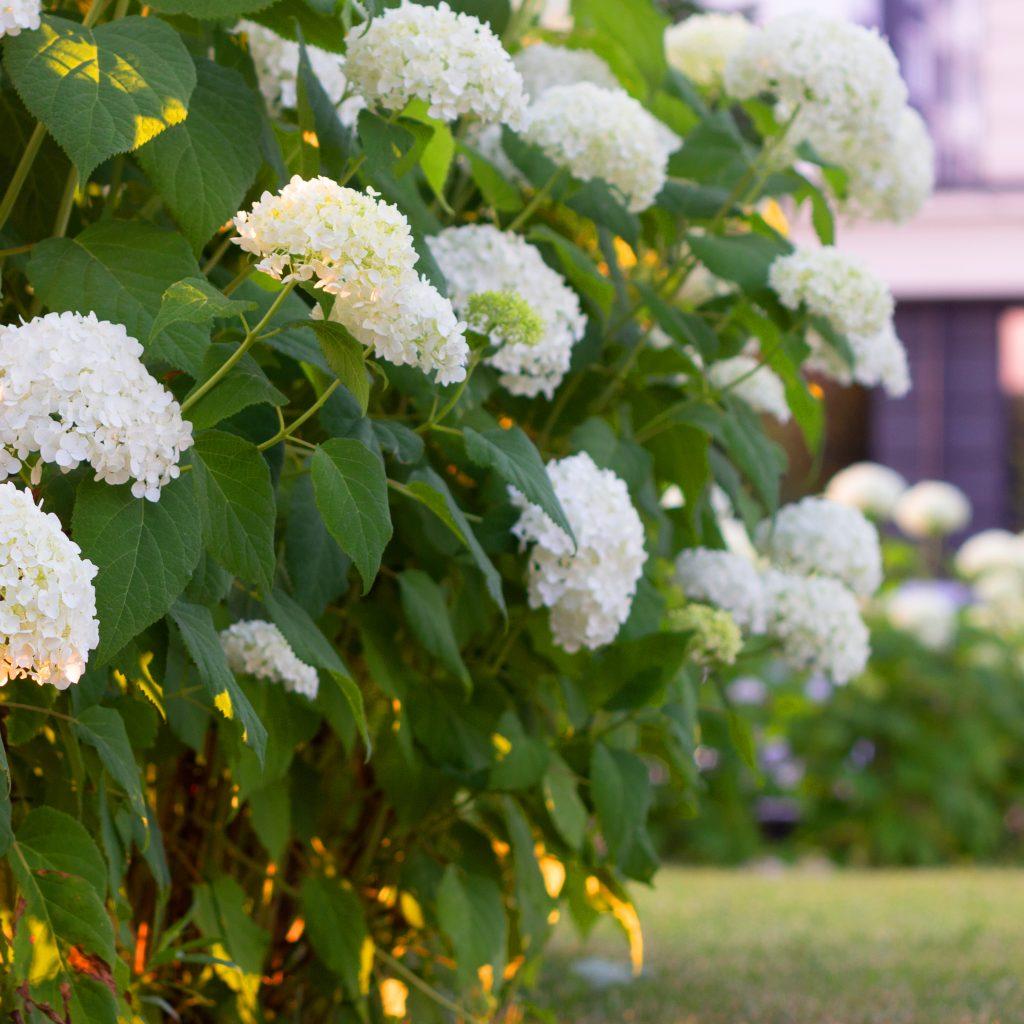 Heuschnupfen im Garten wird durch windblütige Pflanzen verstärkt